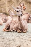 Lesser kudu Royalty Free Stock Images