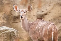 Lesser kudu Arkivfoton