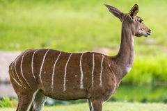 Lesser kudu from Africa Stock Photo