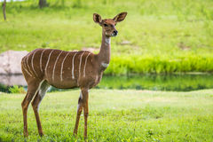 Lesser kudu from Africa. The lesser kudu (Tragelaphus imberbis) is a forest antelope found in East Africa Royalty Free Stock Images