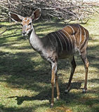 Lesser kudu Stock Photo