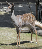 Lesser kudu 6 Royalty Free Stock Photography