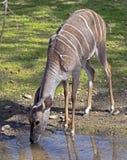 Lesser kudu 4 Stock Image