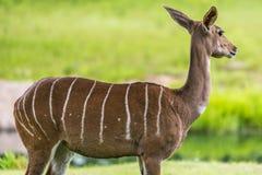 Lesser kudu från Afrika Arkivfoto