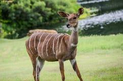 Lesser kudu från Afrika Royaltyfria Foton