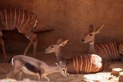 Lesser Kudu kallade Tragelaphus imberbis Fotografering för Bildbyråer