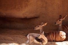Lesser Kudu kallade Tragelaphus imberbis Arkivbild