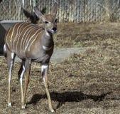 Lesser Kudu Tragelaphus Imberbis in Denver Zoo royalty free stock photo