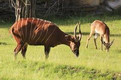 Lesser kudu (Tragelaphus imberbis). Stock Image