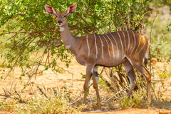 Lesser Kudu In The Wild femminile Fotografie Stock Libere da Diritti