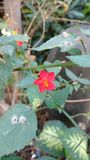 Lesser Mallow. Hibiscus hirtus also called as Lesser Mallow Royalty Free Stock Photo