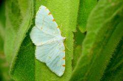 Lesser Maple Spanworm Moth Royalty Free Stock Photography