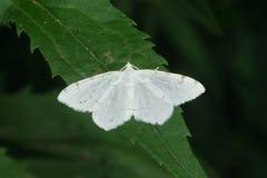 Lesser Maple Spanworm Moth - Speranza pustularia. Lesser Maple Spanworm Moth perched on a leaf. Taylor Creek Park, Toronto, Ontario, Canada Royalty Free Stock Images