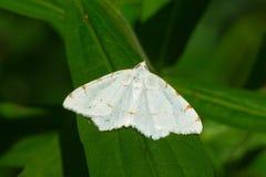 Lesser Maple Spanworm Moth - Speranza pustularia. Lesser Maple Spanworm Moth perched on a leaf. Taylor Creek Park, Toronto, Ontario, Canada Stock Photos