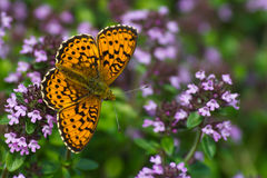 Lesser Marbled Fritillary (Brenthis ino). The beautiful Lesser Marbled Fritillary Butterfly (Brenthis ino) on flowering Lemon thyme (Thymus citriodorus ) stock photo