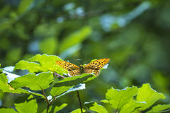 Lesser Marbled Fritillary, Brenthis ino, resting. Lesser Marbled Fritillary (Brenthis ino) resting on on leaves in a bush. This big butterfly has orange wings royalty free stock photo