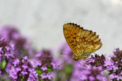 Lesser Marbled Fritillary (Brenthis ino) underneath. The beautiful Lesser Marbled Fritillary Butterfly underneath (Brenthis ino) on flowering Lemon thyme (Thymus stock image