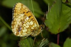 Lesser Marbled Fritillary. Brenthis ino royalty free stock photos
