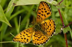 Lesser Marbled Fritillary. Brenthis ino royalty free stock images