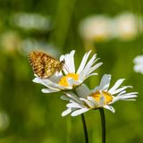 Lesser Marbled Fritillary on an Ox-eye Daisy Royalty Free Stock Images