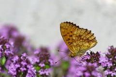 Lesser Marmurkowaty Fritillary underneath (Brenthis ino) Obraz Stock