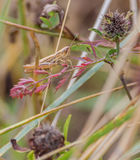 Lesser Marsh Grasshopper Photo stock