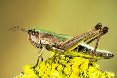 Lesser Marsh Grasshopper, albomarginatus di Chorthippus, viridulus di Omocestus, cavalletta verde comune, cavalletta fotografie stock