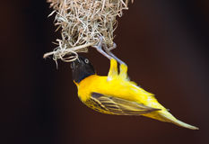 Lesser Masked Weaver Royalty Free Stock Photos