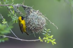 Lesser Masked Weaver nel parco nazionale di Kruger, Sudafrica Fotografie Stock