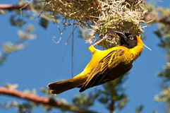 Lesser-Masked Weaver Nest Building Stock Photo
