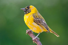 Lesser-masked weaver  ploceus intermedius Royalty Free Stock Photos