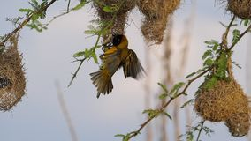 Lesser Masked Weaver, ploceus intermedius, Male and Female standing on Nest, in flight, Flapping wings, Baringo Lake in Kenya