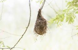 Lesser Masked Weaver Ploceus intermedius Nest Royalty Free Stock Images