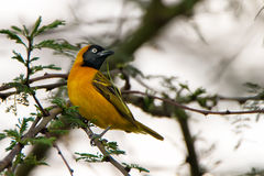 Lesser masked weaver Stock Photo