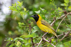 Lesser Masked-Weaver Royalty Free Stock Images