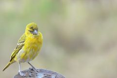 Lesser masked weaver (Ploceus intermedius) Stock Photography