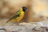 Lesser masked weaver Royalty Free Stock Photography