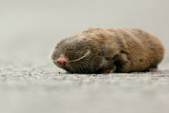 Lesser Mole Rat Stock Images
