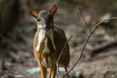Lesser Mouse Deer Foto de Stock Royalty Free