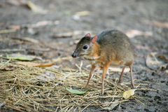 Lesser Mouse Deer Stock Foto's