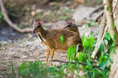 Lesser Mouse Deer Royalty Free Stock Photo