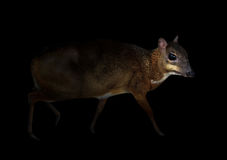 Lesser mouse deer in the dark. Lesser mouse deer standing in the dark Royalty Free Stock Images