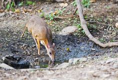Lesser Mouse Deer Stock Images