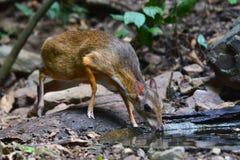 Lesser mouse-deer Stock Photos