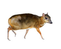 Lesser mouse deer isolated Royalty Free Stock Photo