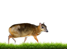 Lesser mouse deer isolated Stock Images