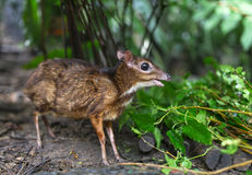 Lesser Mouse Deer Stock Photos