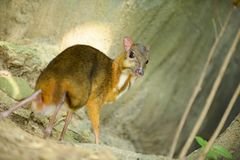 Lesser Mouse-deer. Looks like a deer, and the animal`s hooves, the smallest in the world Stock Images