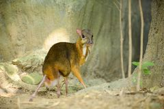Lesser Mouse-deer looks like a deer. And the animal`s hooves, the smallest in the world Royalty Free Stock Image