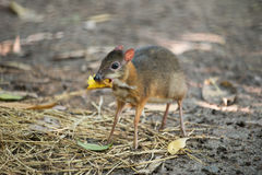 Lesser mouse deer. Scientific name Tragulus kanchil Stock Photography